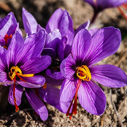 Crocus Sativus fiori