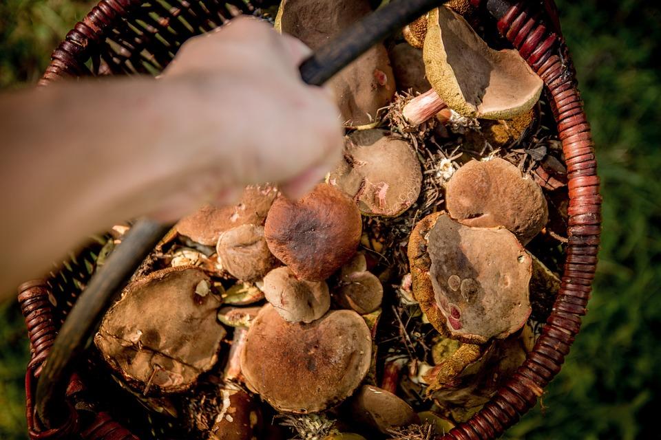 Raccolta funghi in Lombardia